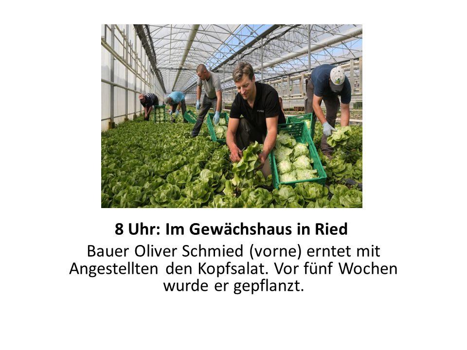 8 Uhr: Im Gewächshaus in Ried Bauer Oliver Schmied (vorne) erntet mit Angestellten den Kopfsalat.