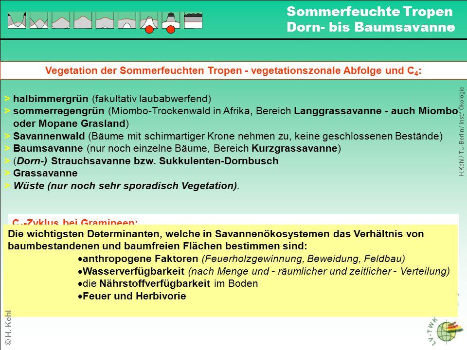 Vegetation der Sommerfeuchten Tropen - vegetationszonale Abfolge und C 4 : > halbimmergrün (fakultativ laubabwerfend) > sommerregengrün (Miombo-Trocke