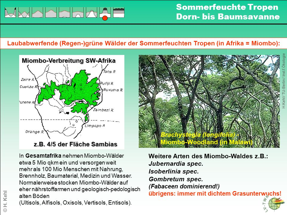 Laubabwerfende (Regen-)grüne Wälder der Sommerfeuchten Tropen (in Afrika = Miombo): Brachystegia (longifolia) - Miombo-Woodland (in Malawi) Weitere Ar
