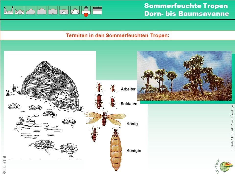 Termiten in den Sommerfeuchten Tropen: H.Kehl / TU-Berlin / Inst.f.Ökologie Sommerfeuchte Tropen Dorn- bis Baumsavanne © H. Kehl