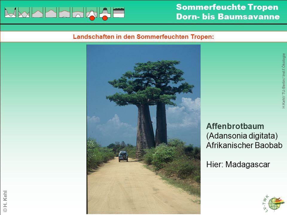Landschaften in den Sommerfeuchten Tropen: H.Kehl / TU-Berlin / Inst.f.Ökologie Sommerfeuchte Tropen Dorn- bis Baumsavanne © H. Kehl Affenbrotbaum (Ad