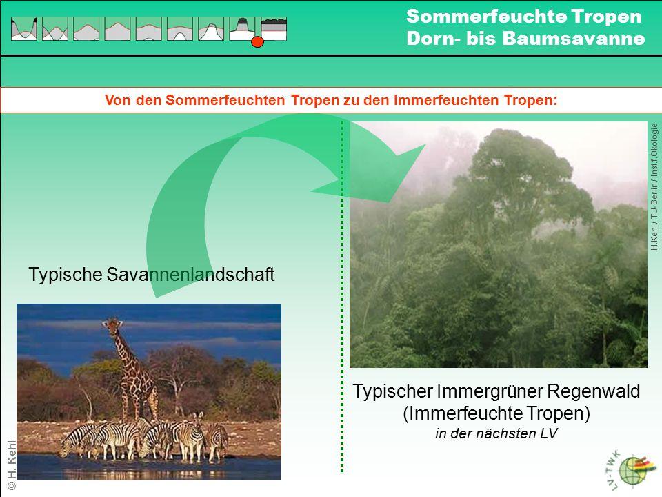 Von den Sommerfeuchten Tropen zu den Immerfeuchten Tropen: Typischer Immergrüner Regenwald (Immerfeuchte Tropen) in der nächsten LV Typische Savannenl