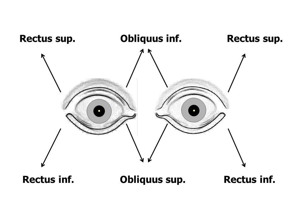Rectus sup.Obliquus inf.Rectus sup. Obliquus sup.Rectus inf.