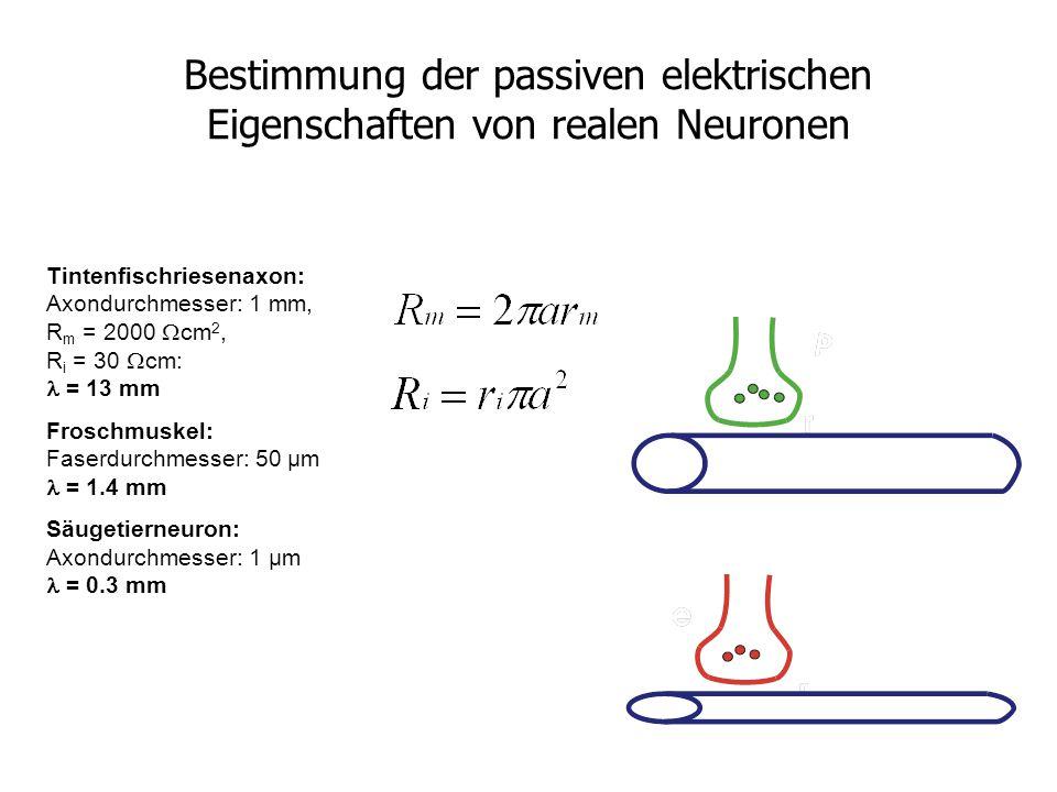 Bestimmung der passiven elektrischen Eigenschaften von realen Neuronen Tintenfischriesenaxon: Axondurchmesser: 1 mm, R m = 2000  cm 2, R i = 30  cm: