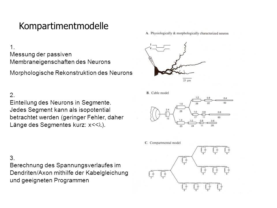 Kompartimentmodelle 1. Messung der passiven Membraneigenschaften des Neurons Morphologische Rekonstruktion des Neurons 2. Einteilung des Neurons in Se
