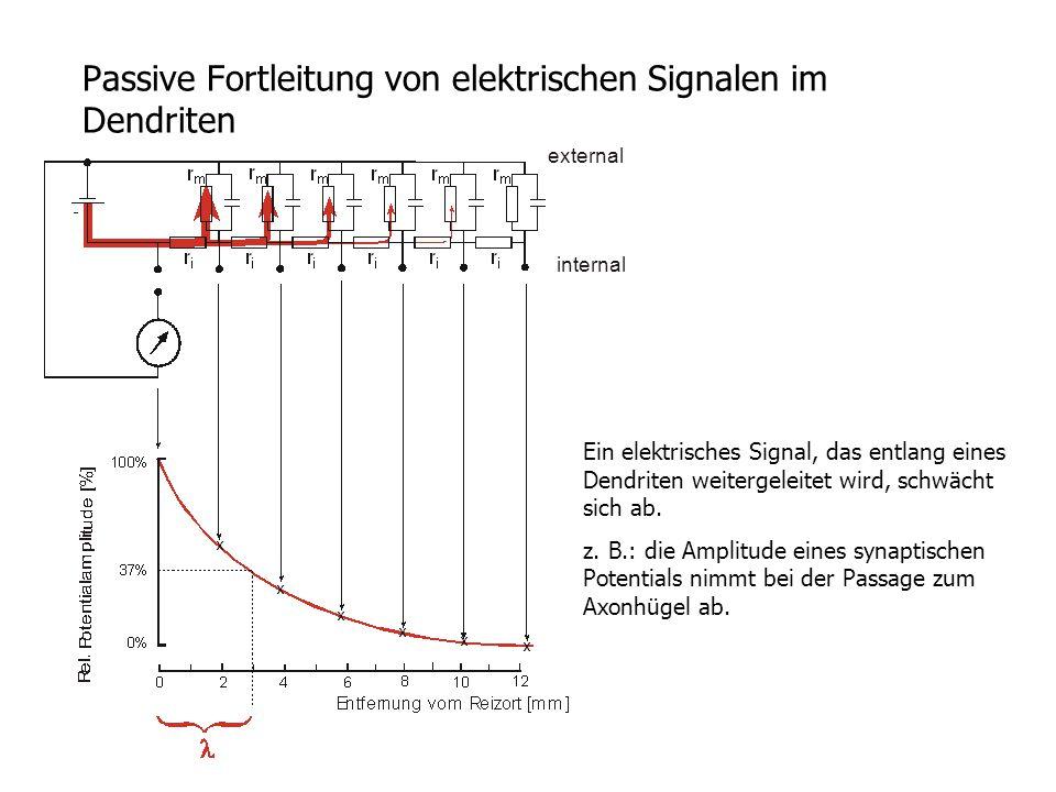 Passive Fortleitung von elektrischen Signalen im Dendriten Ein elektrisches Signal, das entlang eines Dendriten weitergeleitet wird, schwächt sich ab.