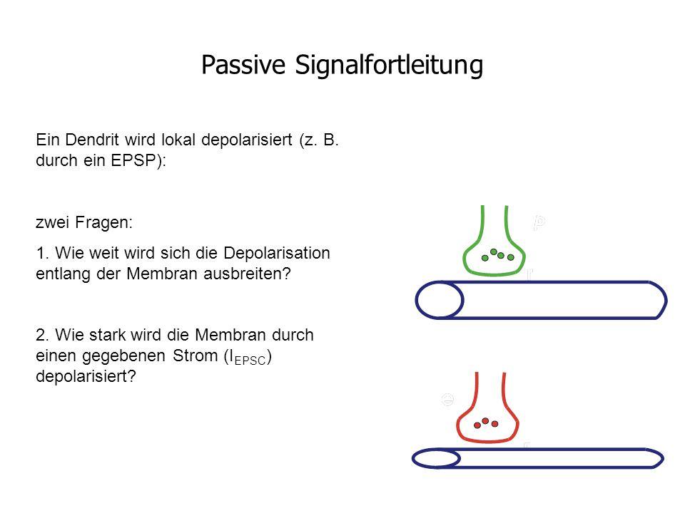 Passive Signalfortleitung Ein Dendrit wird lokal depolarisiert (z. B. durch ein EPSP): zwei Fragen: 1. Wie weit wird sich die Depolarisation entlang d
