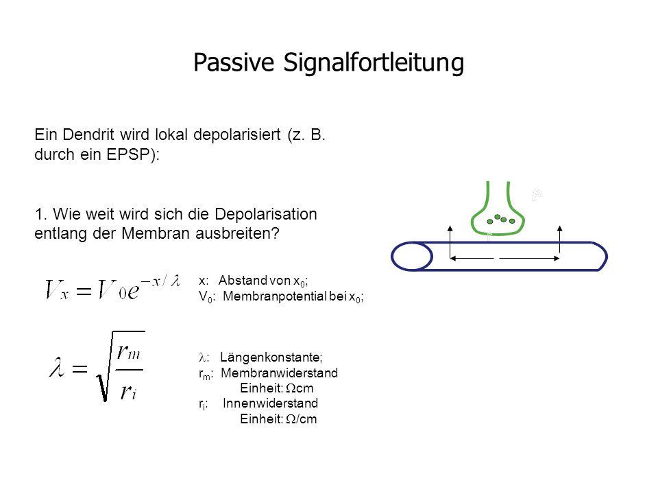 Passive Signalfortleitung Ein Dendrit wird lokal depolarisiert (z. B. durch ein EPSP): 1. Wie weit wird sich die Depolarisation entlang der Membran au