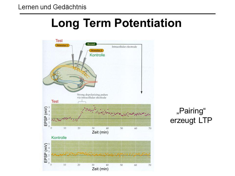 "Lernen und Gedächtnis Long Term Potentiation ""Pairing"" erzeugt LTP"