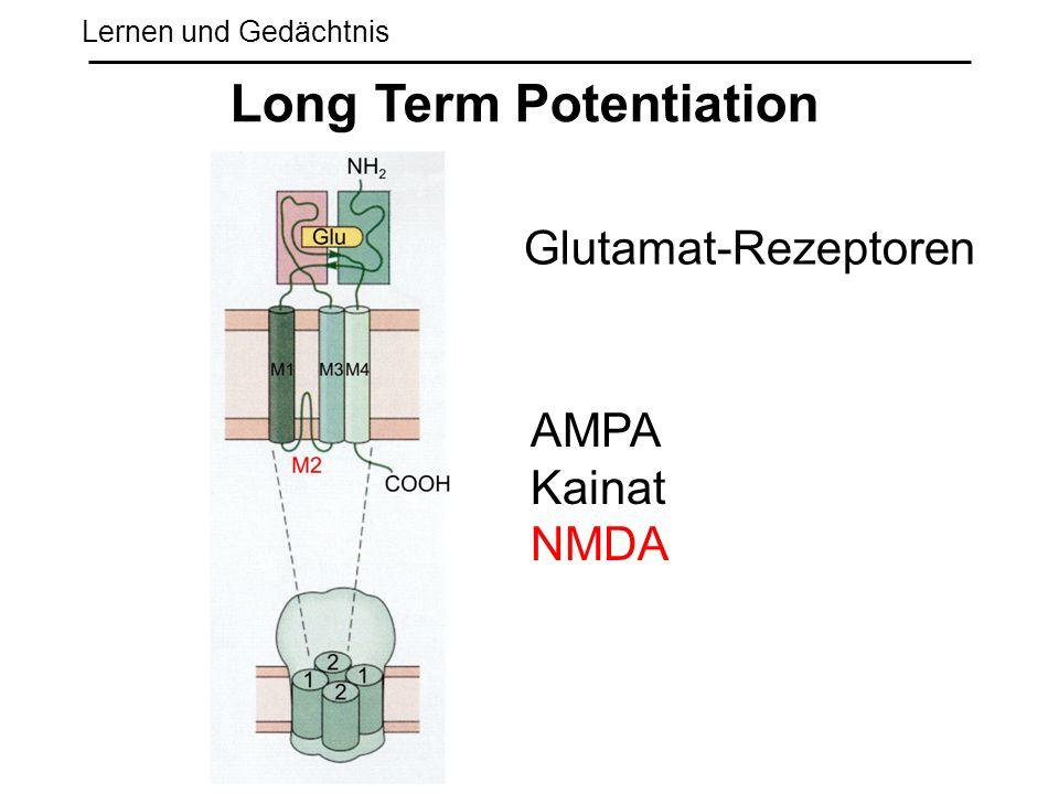Lernen und Gedächtnis Long Term Potentiation Glutamat-Rezeptoren AMPA Kainat NMDA