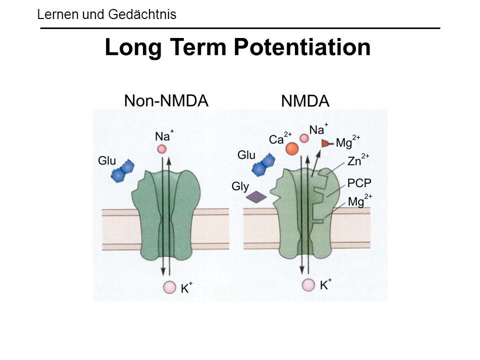 Lernen und Gedächtnis Long Term Potentiation