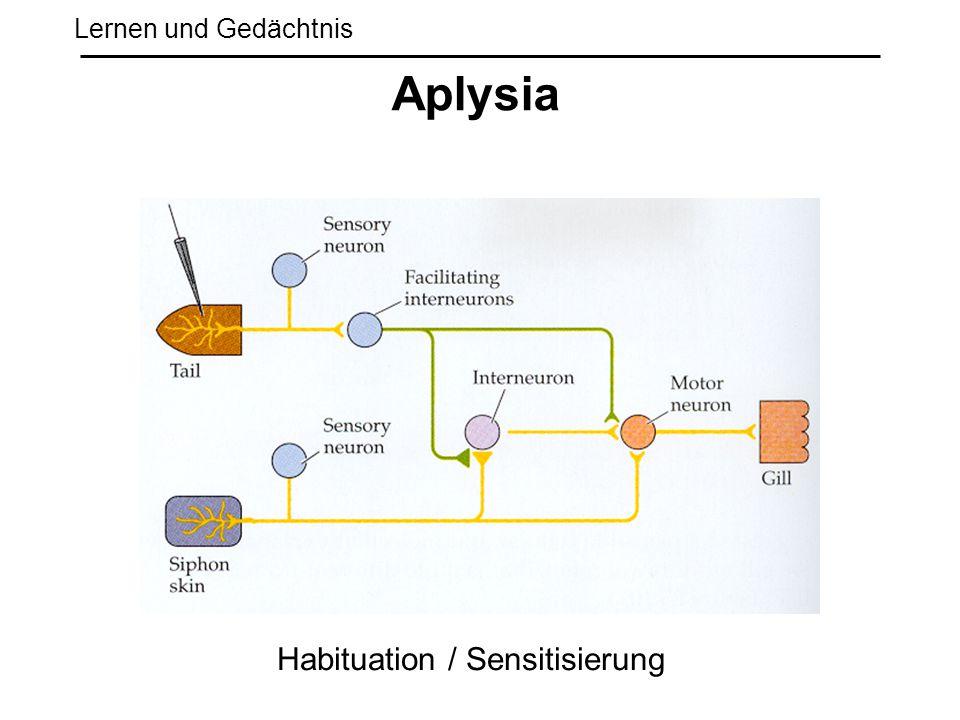 Lernen und Gedächtnis Aplysia Habituation / Sensitisierung