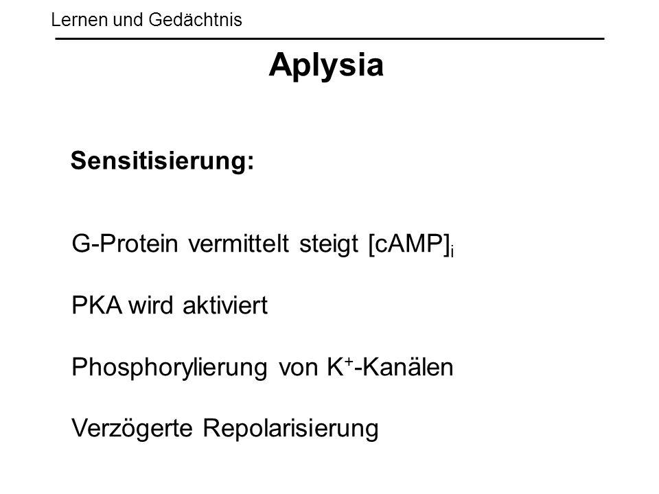 Lernen und Gedächtnis Aplysia Sensitisierung: G-Protein vermittelt steigt [cAMP] i PKA wird aktiviert Phosphorylierung von K + -Kanälen Verzögerte Rep