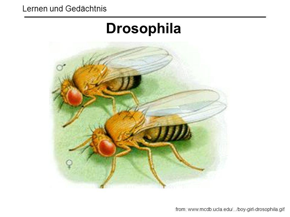 Lernen und Gedächtnis Drosophila from: www.mcdb.ucla.edu/.../boy-girl-drosophila.gif