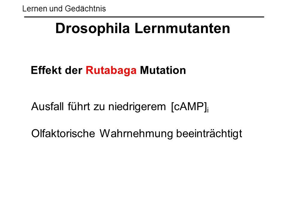 Lernen und Gedächtnis Drosophila Lernmutanten Effekt der Rutabaga Mutation Ausfall führt zu niedrigerem [cAMP] i Olfaktorische Wahrnehmung beeinträcht
