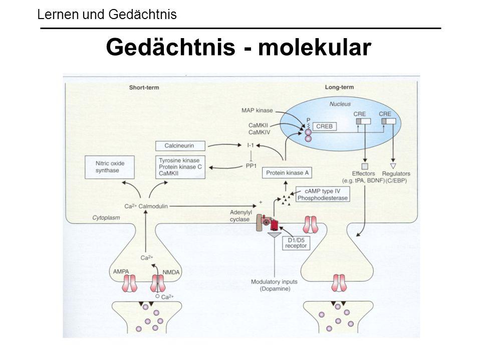 Lernen und Gedächtnis Gedächtnis - molekular