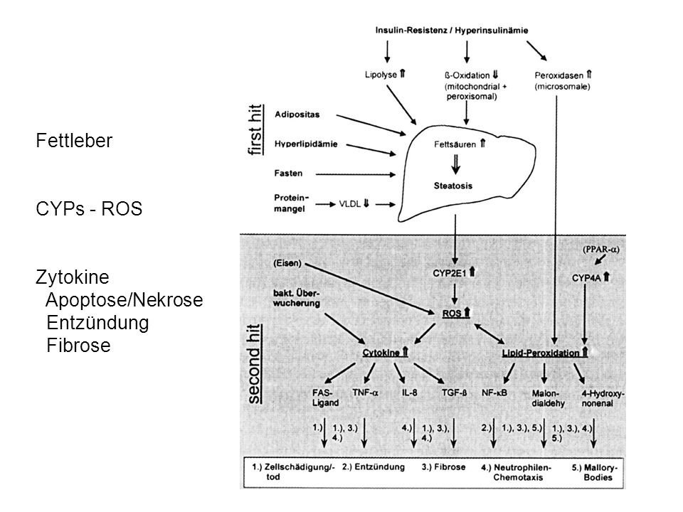 Fettleber CYPs - ROS Zytokine Apoptose/Nekrose Entzündung Fibrose
