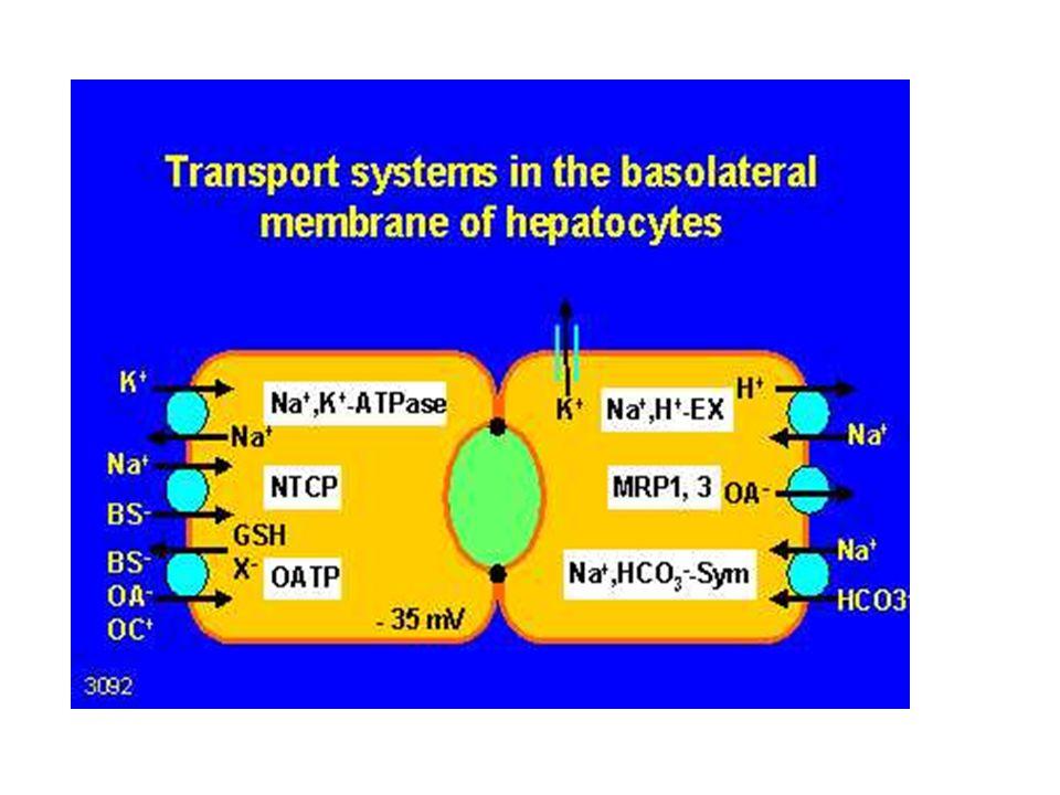 Basolaterale Transporter