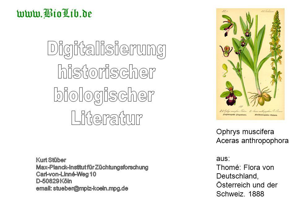 Ophrys muscifera Aceras anthropophora aus: Thomé: Flora von Deutschland, Österreich und der Schweiz.