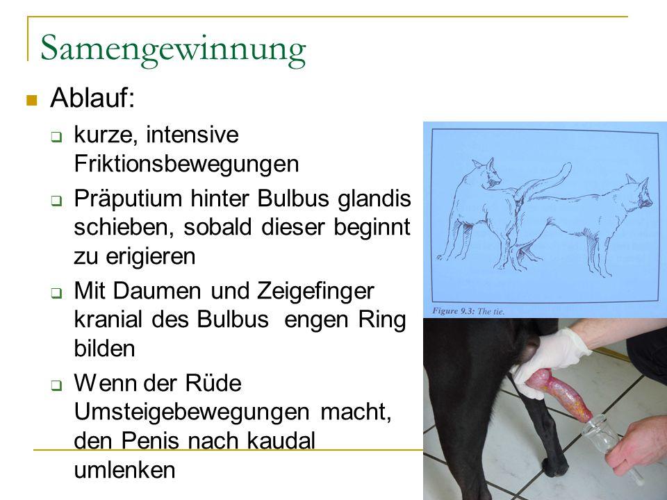 Samengewinnung Ablauf:  kurze, intensive Friktionsbewegungen  Präputium hinter Bulbus glandis schieben, sobald dieser beginnt zu erigieren  Mit Daumen und Zeigefinger kranial des Bulbus engen Ring bilden  Wenn der Rüde Umsteigebewegungen macht, den Penis nach kaudal umlenken
