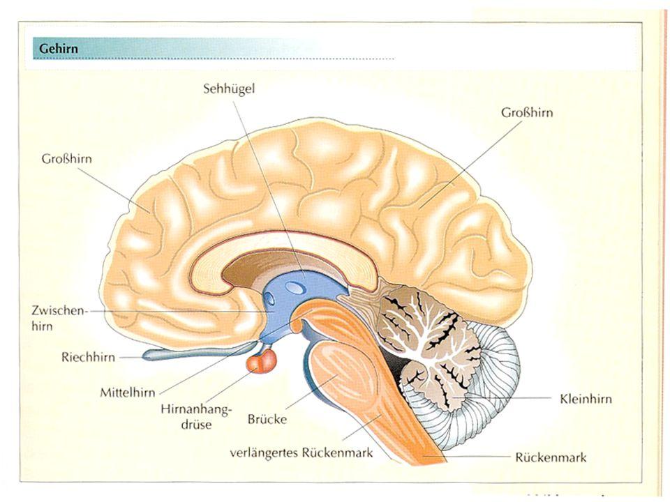 1. Grundlagen - Gehirn  5 Hauptbereiche  Telencephalon  Diencephalon  Mesencephalon  Metencephalon  Myelencephalon