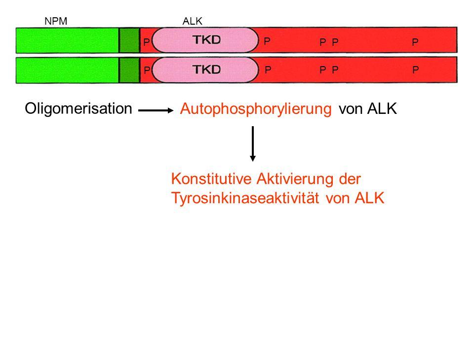 Oligomerisation Autophosphorylierung von ALK Konstitutive Aktivierung der Tyrosinkinaseaktivität von ALK NPMALK P PPP PPPP P P
