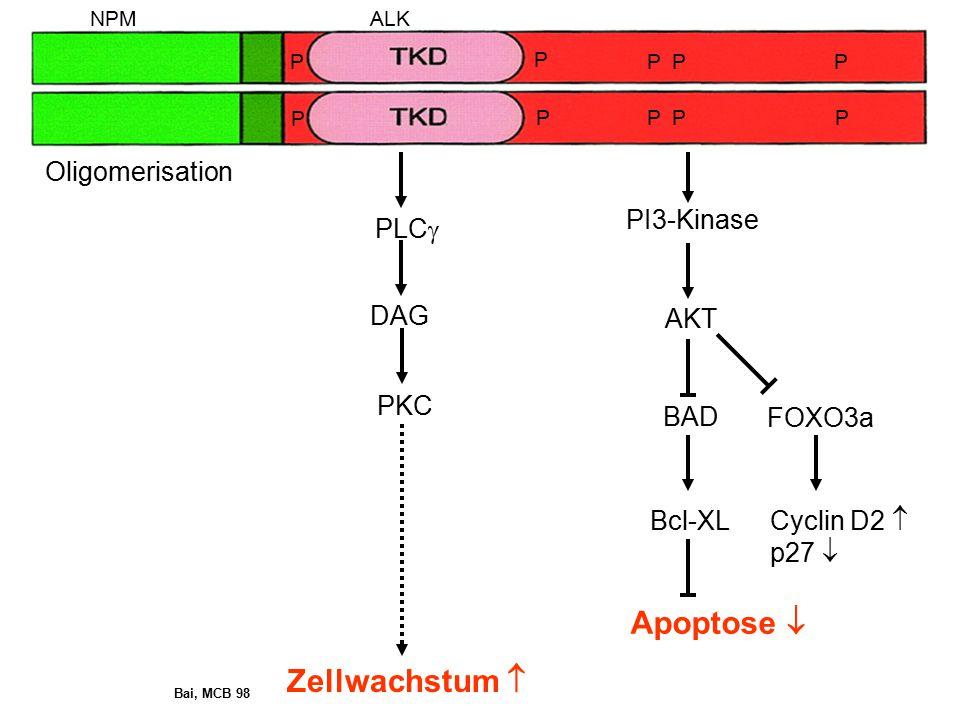 PI3-Kinase AKT BAD FOXO3a Oligomerisation Bcl-XL Cyclin D2  p27  Apoptose  NPMALK P PPP PPPP P P Zellwachstum  PLC  DAG PKC Bai, MCB 98