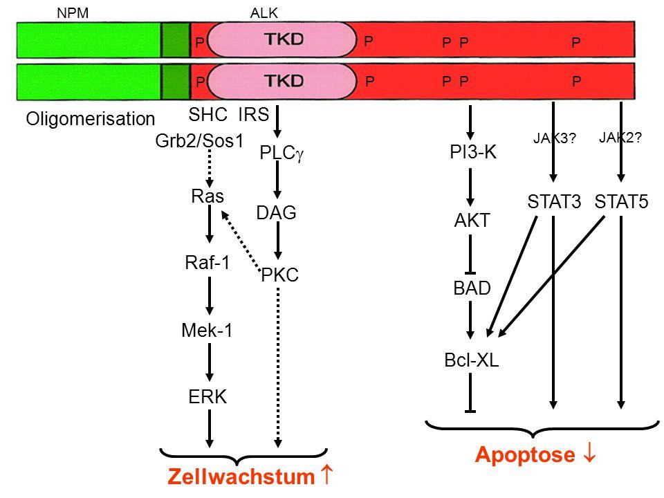 SHC Grb2/Sos1 IRS Ras Raf-1 Mek-1 ERK Zellwachstum  PI3-K AKT BAD Apoptose  Bcl-XL PLC  DAG PKC STAT5 JAK2? Oligomerisation NPMALK P PPP PPPP P P S