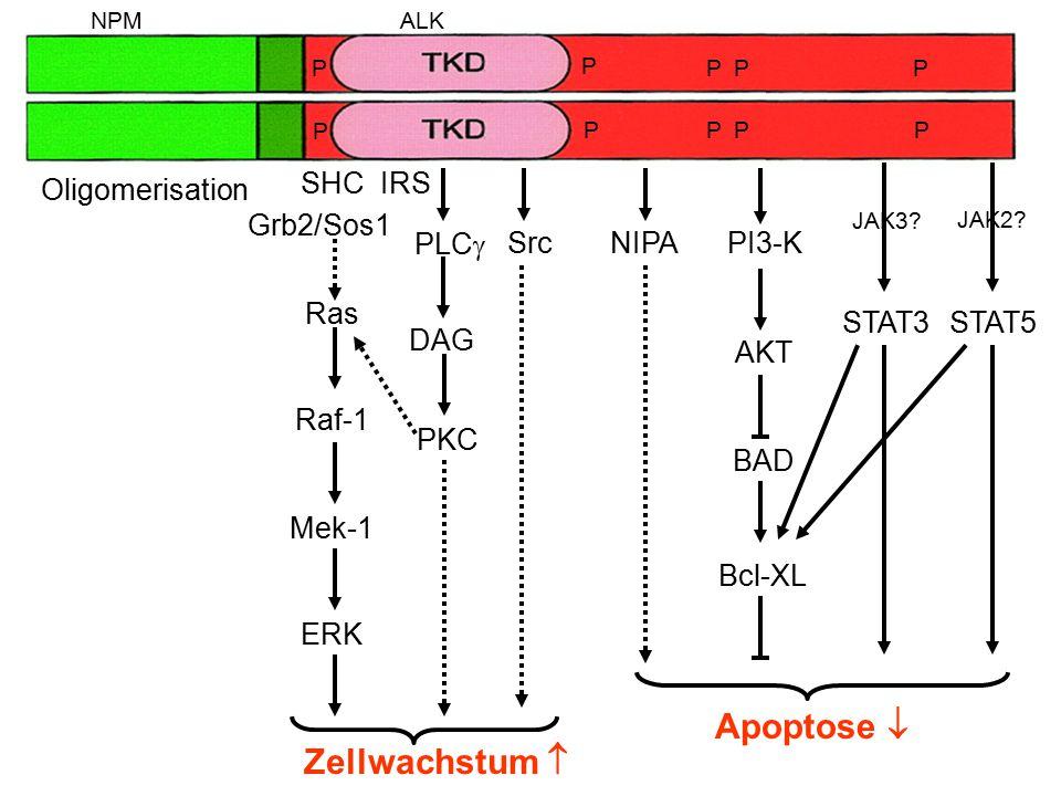 SHC Grb2/Sos1 IRS Ras Raf-1 Mek-1 ERK Zellwachstum  PI3-K AKT BAD Apoptose  Bcl-XL PLC  DAG PKC NIPA STAT5 JAK2? Src Oligomerisation NPMALK P PPP P