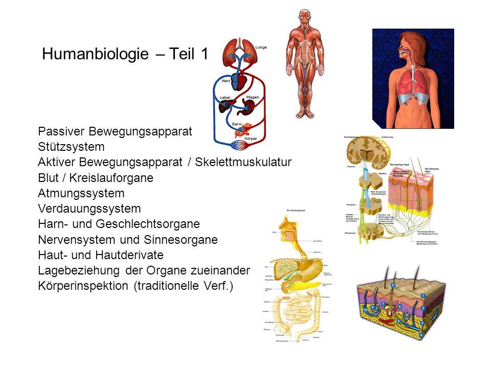 Humanbiologie – Teil 1 Passiver Bewegungsapparat Stützsystem Aktiver Bewegungsapparat / Skelettmuskulatur Blut / Kreislauforgane Atmungssystem Verdauu
