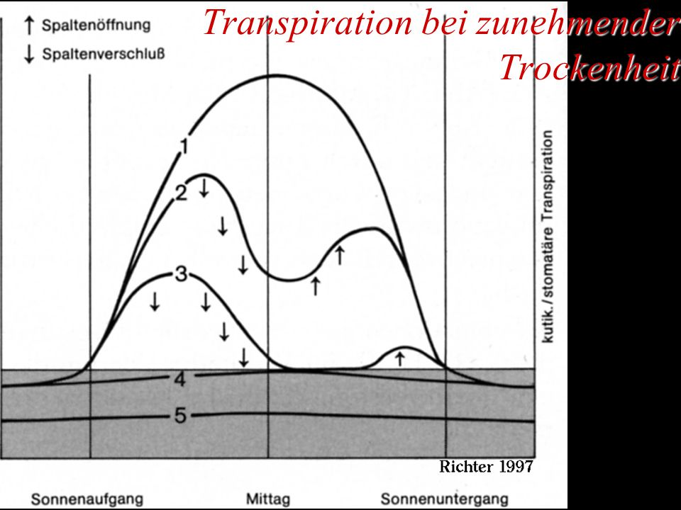 Transpiration bei zunehmender Trockenheit