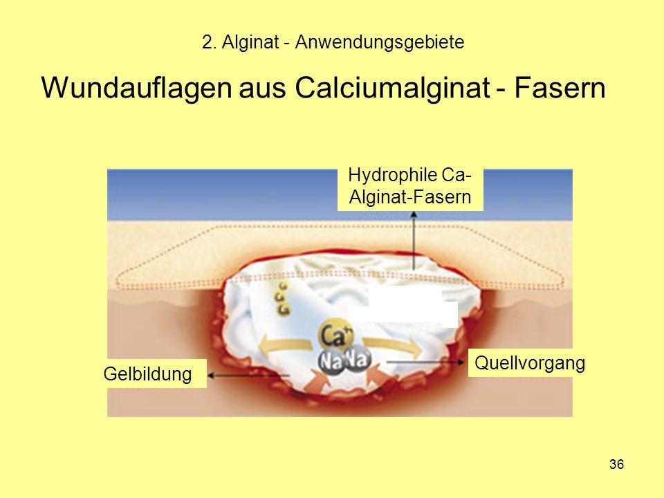 36 Wundauflagen aus Calciumalginat - Fasern 2. Alginat - Anwendungsgebiete Gelbildung Hydrophile Ca- Alginat-Fasern Quellvorgang