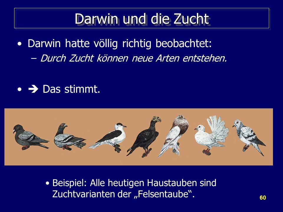 60 Darwin und die Zucht Darwin hatte völlig richtig beobachtet: –Durch Zucht können neue Arten entstehen.