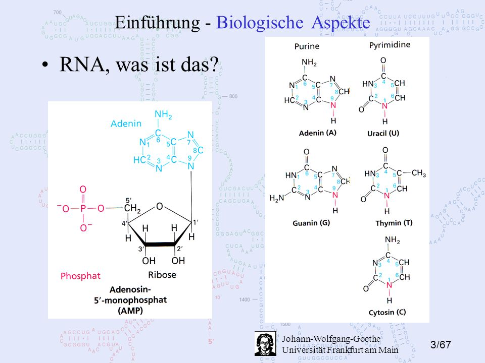 3/67 Johann-Wolfgang-Goethe Universität Frankfurt am Main Einführung - Biologische Aspekte RNA, was ist das