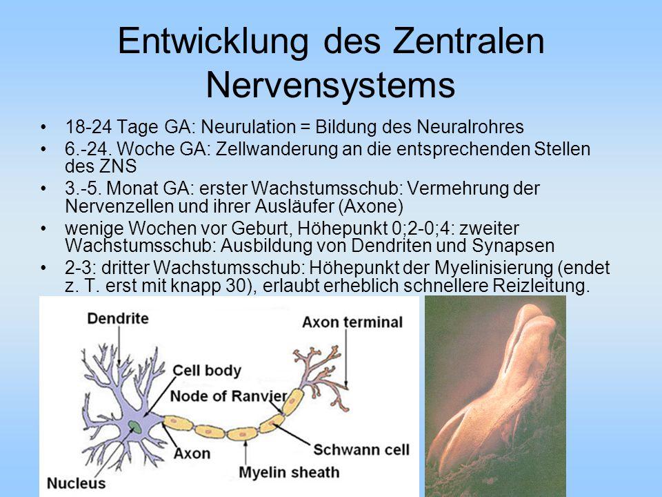 Entwicklung des Zentralen Nervensystems 18-24 Tage GA: Neurulation = Bildung des Neuralrohres 6.-24.
