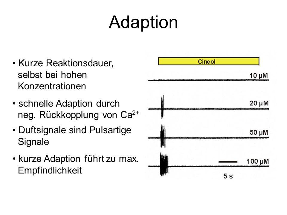Adaption Kurze Reaktionsdauer, selbst bei hohen Konzentrationen schnelle Adaption durch neg. Rückkopplung von Ca 2+ Duftsignale sind Pulsartige Signal