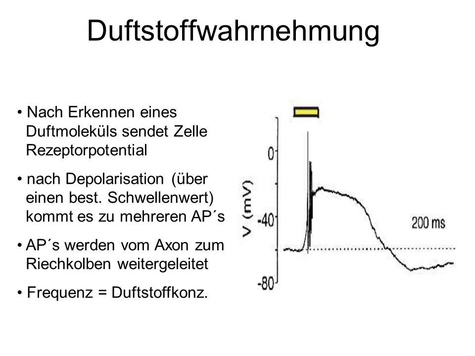 Duftstoffwahrnehmung Nach Erkennen eines Duftmoleküls sendet Zelle Rezeptorpotential nach Depolarisation (über einen best. Schwellenwert) kommt es zu