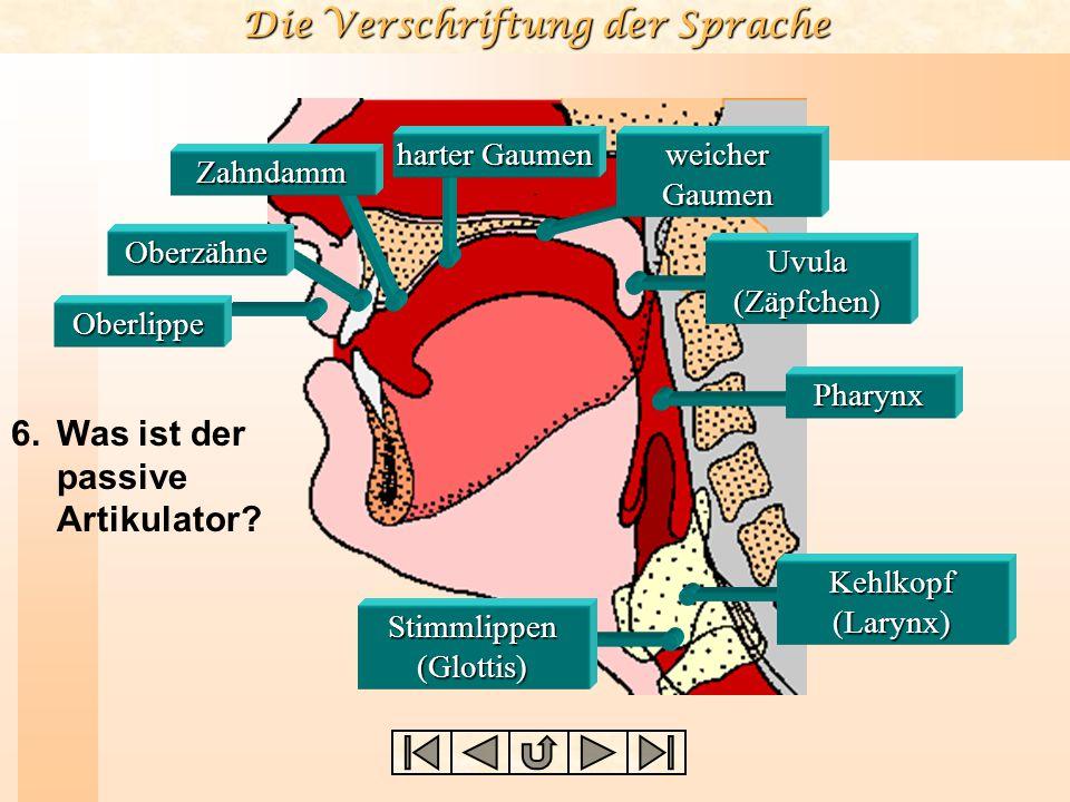 Die Verschriftung der Sprache Unterlippe Zungenspitze Zungenblatt vorderer Zungenrücken Zugenwurzel (Radix) hinterer Zungenrücken Was 5. Was ist der u