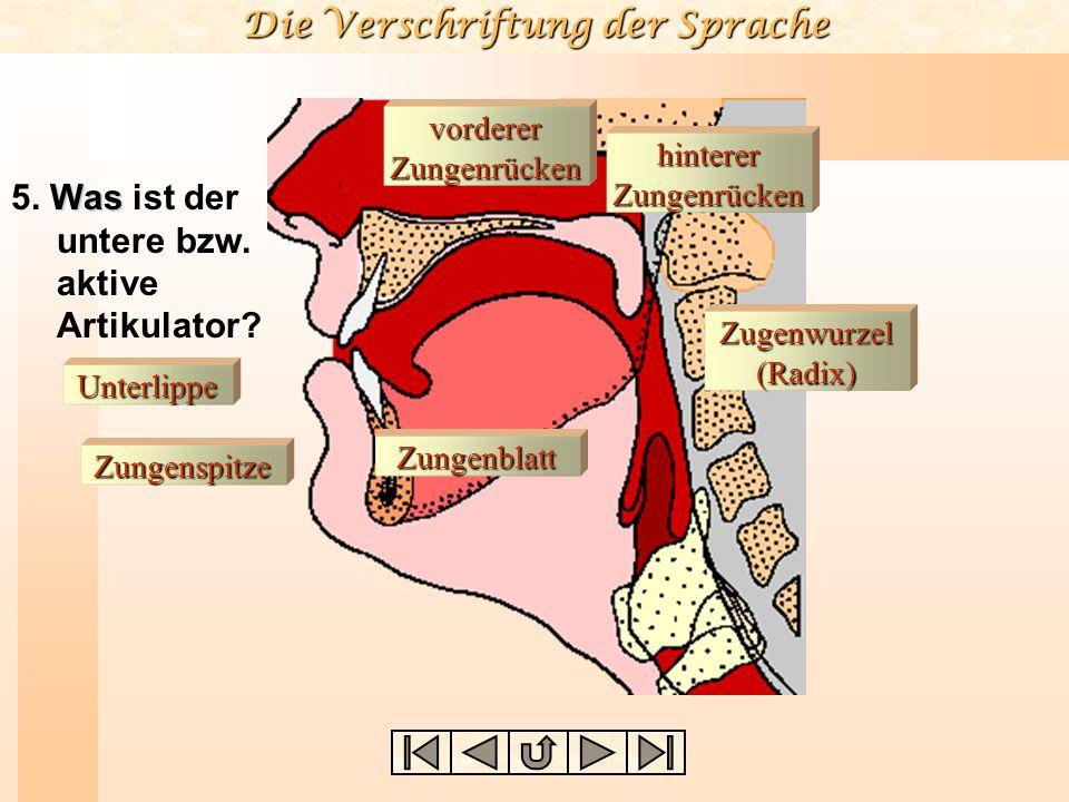 Die Verschriftung der Sprache Unterlippe Zungenspitze Zungenblatt vorderer Zungenrücken Zugenwurzel (Radix) hinterer Zungenrücken Was 5.