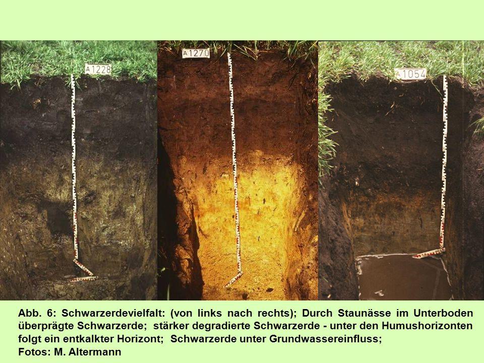 Abb. 6: Schwarzerdevielfalt: (von links nach rechts); Durch Staunässe im Unterboden überprägte Schwarzerde; stärker degradierte Schwarzerde - unter de