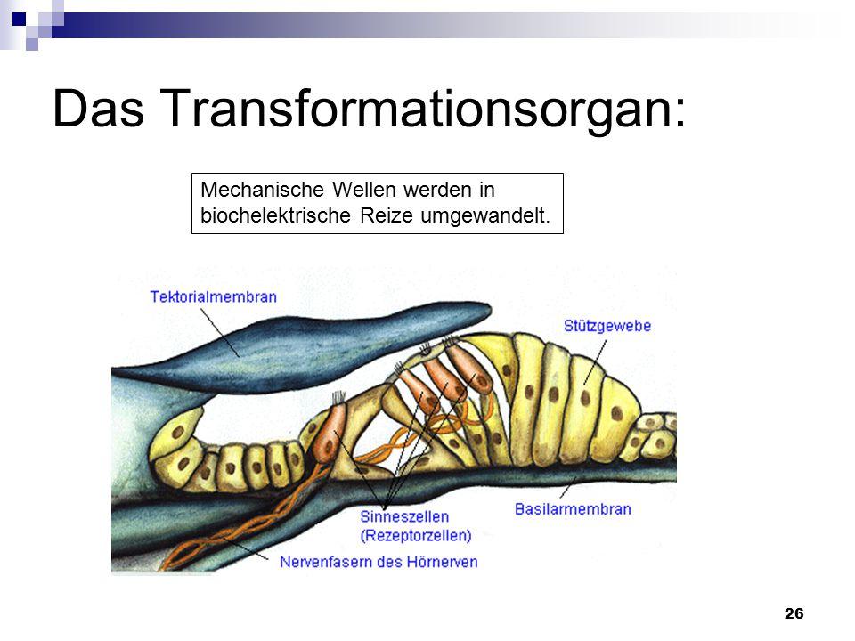 26 Das Transformationsorgan: Mechanische Wellen werden in biochelektrische Reize umgewandelt.