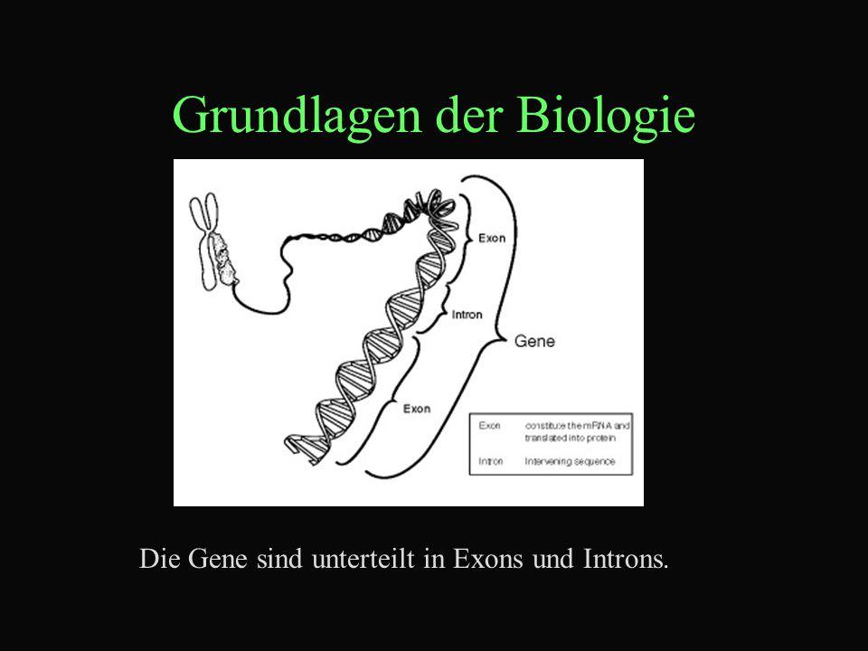 Grundlagen der Biologie Die Gene sind unterteilt in Exons und Introns.