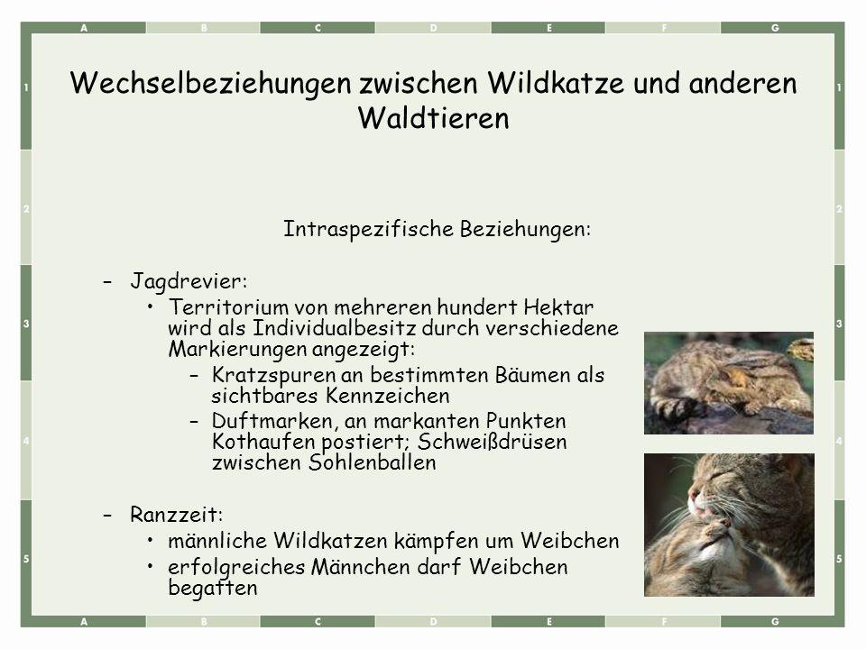Wechselbeziehungen zwischen Wildkatze und anderen Waldtieren Intraspezifische Beziehungen: –Jagdrevier: Territorium von mehreren hundert Hektar wird a