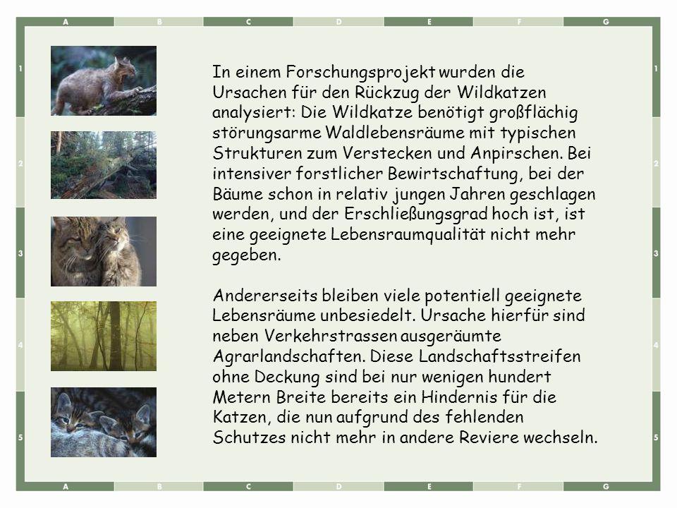 In einem Forschungsprojekt wurden die Ursachen für den Rückzug der Wildkatzen analysiert: Die Wildkatze benötigt großflächig störungsarme Waldlebensrä