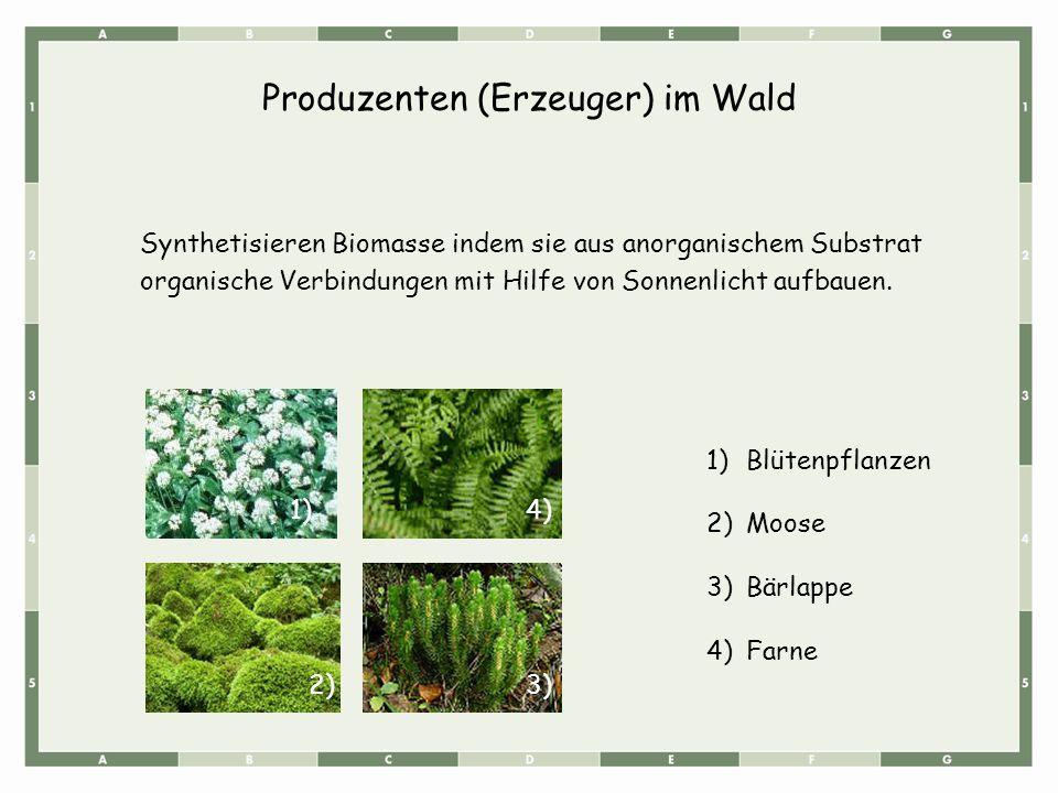 Produzenten (Erzeuger) im Wald Synthetisieren Biomasse indem sie aus anorganischem Substrat organische Verbindungen mit Hilfe von Sonnenlicht aufbauen.