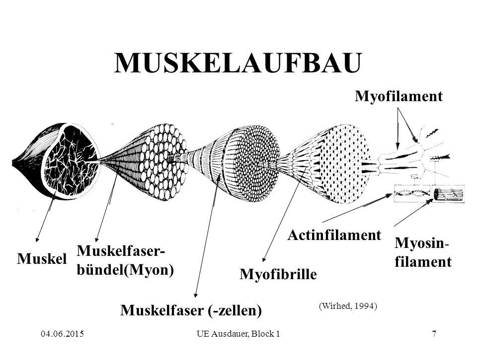 04.06.2015UE Ausdauer, Block 17 MUSKELAUFBAU Muskel Muskelfaser- bündel(Myon) Muskelfaser (-zellen) Myofibrille Myofilament Actinfilament Myosin - filament (Wirhed, 1994)