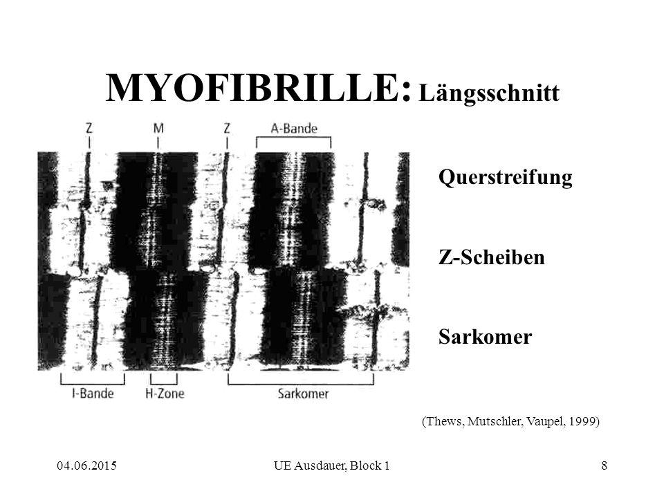 04.06.2015UE Ausdauer, Block 18 MYOFIBRILLE: Längsschnitt Querstreifung Z-Scheiben Sarkomer (Thews, Mutschler, Vaupel, 1999)