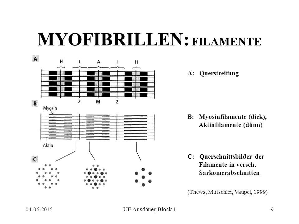 04.06.2015UE Ausdauer, Block 19 MYOFIBRILLEN: FILAMENTE A: Querstreifung B: Myosinfilamente (dick), Aktinfilamente (dünn) C: Querschnittsbilder der Filamente in versch.