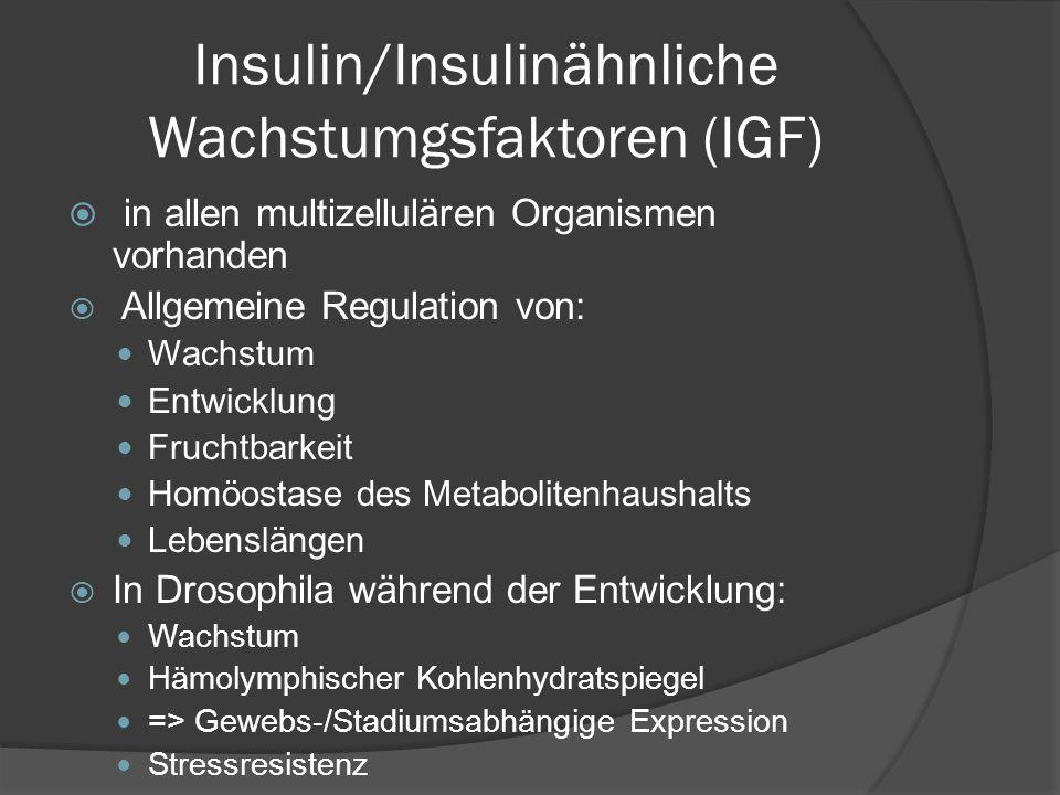 Insulin/Insulinähnliche Wachstumgsfaktoren (IGF)  in allen multizellulären Organismen vorhanden  Allgemeine Regulation von: Wachstum Entwicklung Fru