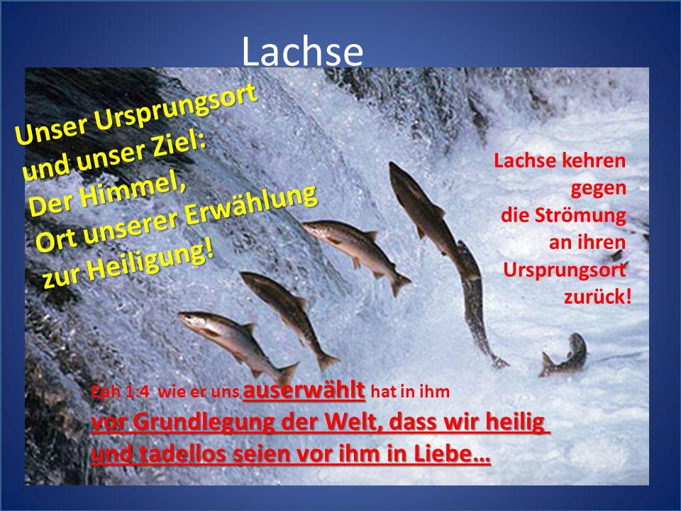 Lachse Lachse kehren gegen die Strömung an ihren Ursprungsort zurück! auserwählt Eph 1:4 wie er uns auserwählt hat in ihm vor Grundlegung der Welt, da